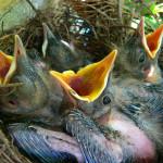 Jonge merels in een nest